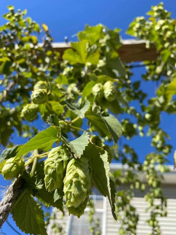 hops being grown at a household