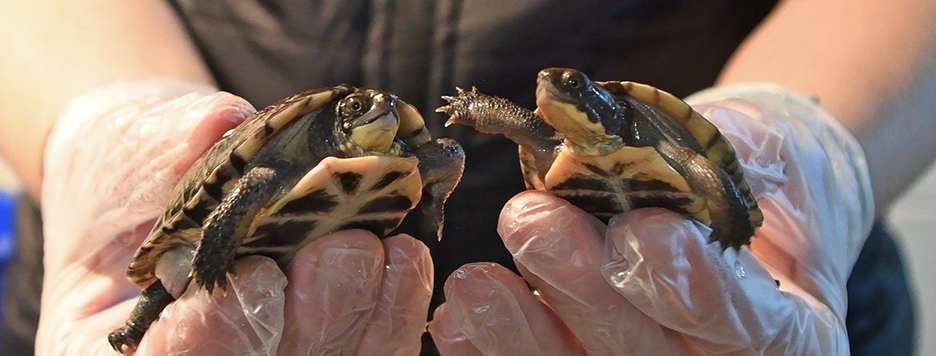 someone holding to Blanding Turtles in their hand